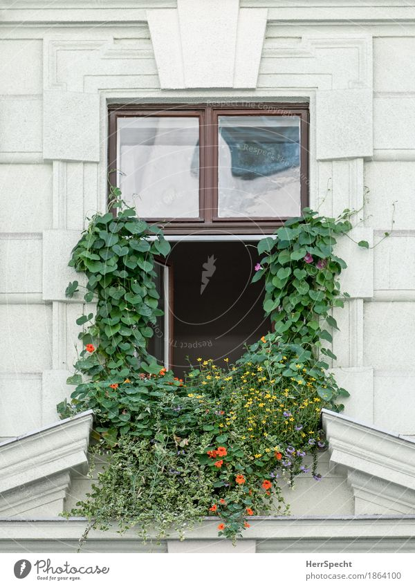 Window with full beard Plant Flower Blossom Nasturtium Vienna House (Residential Structure) Facade Exceptional Funny Rebellious Town Green Creeper Overgrown