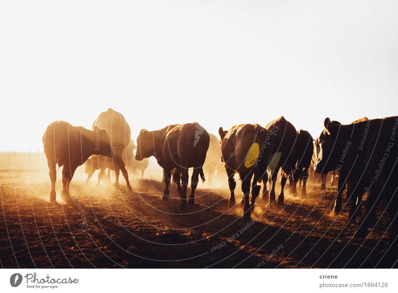 Free range brown cows grazing on dusty open land farm Meat Environment Nature Animal Beautiful weather Warmth Drought Meadow Field Cow Group of animals Herd