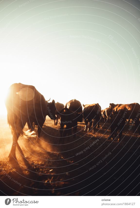 Cattle blowing up dust on rural farmland in sunset Nature Summer Sun Landscape Animal Environment Warmth Meadow Wild Copy Space Field Idyll Group of animals Farm Agriculture Cow