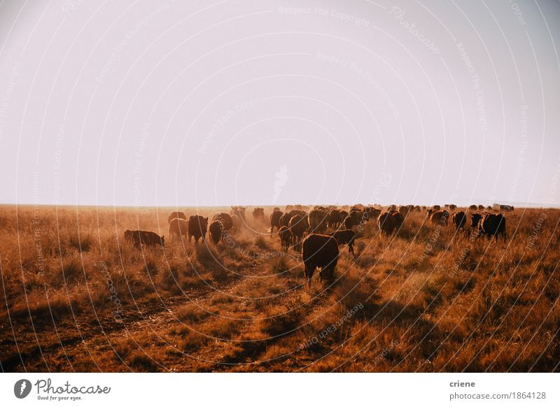 Brown free range cows grazing on dry grassland Nature Summer Sun Landscape Animal Warmth Meadow Wild Copy Space Field Gold Group of animals Beautiful weather