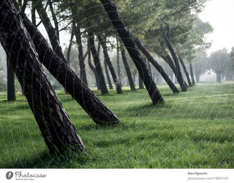 slanting position Nature Landscape Plant Autumn Fog Tree Natural Brown Green Row of trees Stone pine Poplar Tilt Tree trunk Perspective Grass Grass meadow Calm