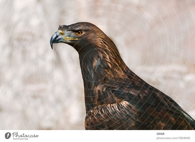 Portrait of Eagle Nature Animal Brown Bird Wild Feather Beak Bank note Wilderness Ornithology Bird of prey Majestic Hawk Falcon Beast