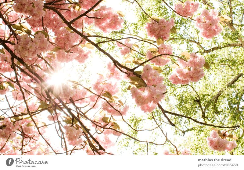 spring Environment Nature Plant Sun Spring Beautiful weather Tree Flower Leaf Blossom Agricultural crop Cherry tree Park Meadow Cherry blossom Fragrance Bee