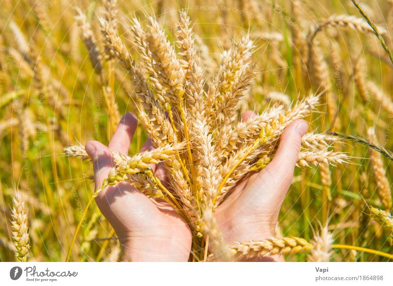 Wheat in the hands Woman Nature Plant Summer Hand Landscape Adults Yellow Autumn Meadow Natural Field Growth Gold Beauty Photography Farm