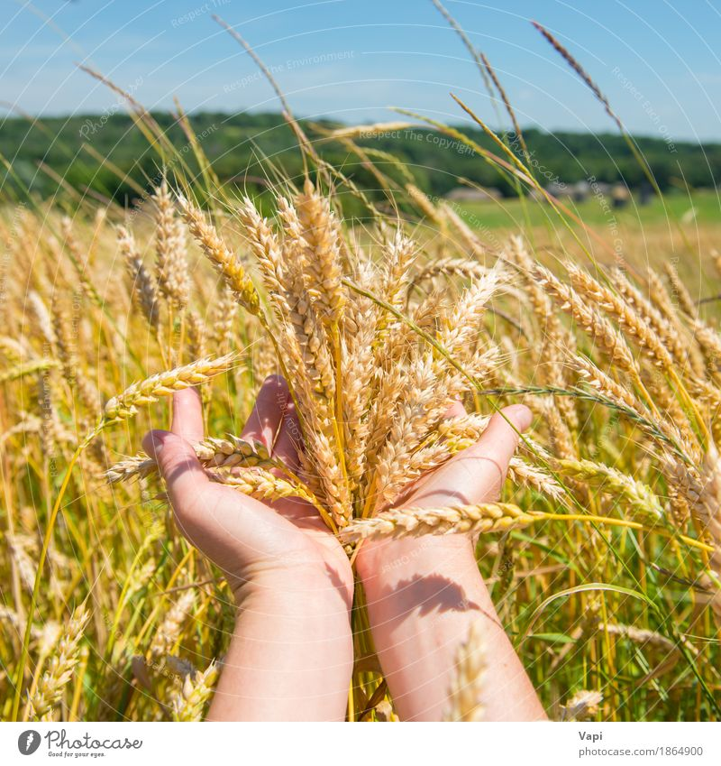 Wheat in the hands Woman Nature Plant Summer Green Hand Landscape Forest Adults Yellow Autumn Meadow Natural Grass Field Growth