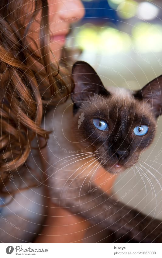 blue eyes Style Feminine Girl Young woman Youth (Young adults) 1 Human being Brunette Long-haired Curl Pet Cat Animal To enjoy Illuminate Looking Elegant Exotic