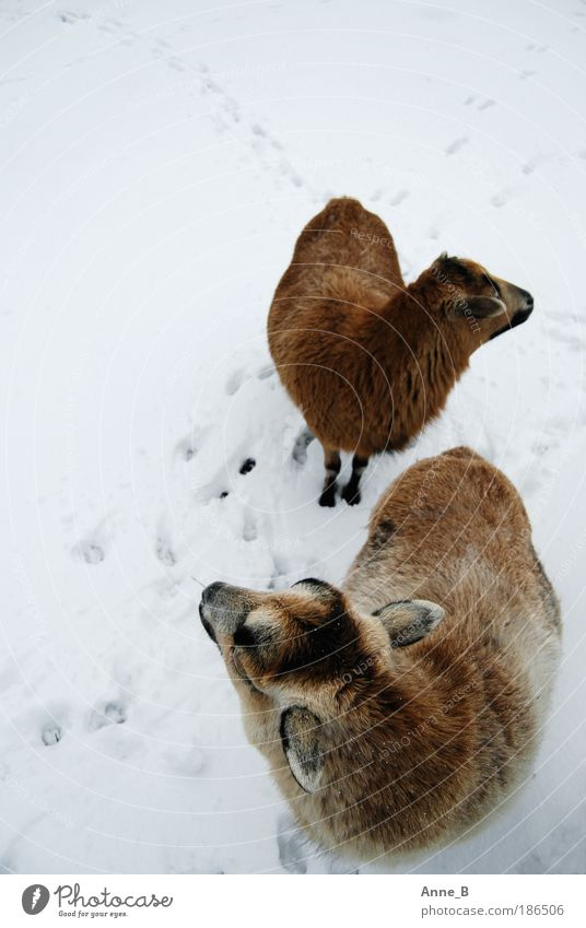 Nature White Winter Calm Black Animal Cold Snow Ice Brown Together Field Pair of animals Search Frost Stand