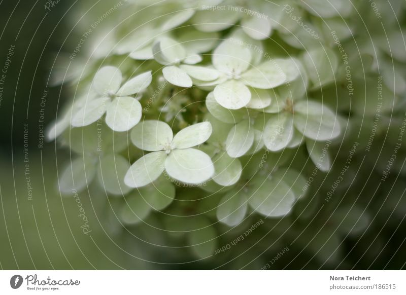 snowflakes Environment Nature Plant Leaf Blossom Wild plant Beautiful Soft White Snowflake Colour photo Subdued colour Exterior shot Close-up Detail