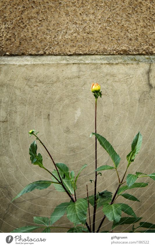 mauerBLÜMCHEN Plant Flower Leaf Blossom Wall (barrier) Wall (building) Blossoming Authentic Yellow inconspicuous Decent ordinary wallflower Normal unobtrusively
