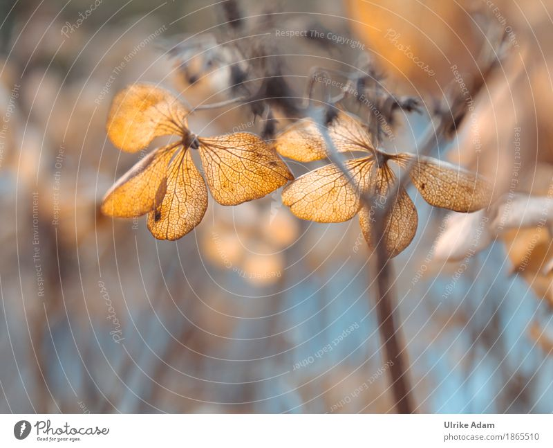 Withered hydrangeas in warm autumn light Elegant Style Design Arrange Interior design Decoration Wallpaper Image Poster Funeral service Art Nature Plant Autumn