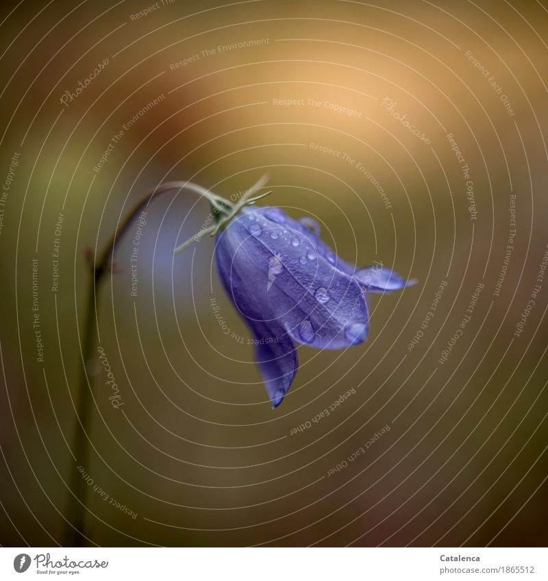 bellflower Nature Plant Drops of water Summer Beautiful weather Flower Blossom Bluebell Meadow Blossoming Esthetic Fresh Wet Brown Yellow Green Attentive