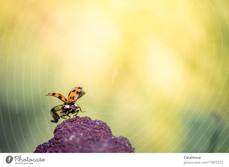 departure Nature Plant Animal Summer Beautiful weather Agricultural crop Cauliflower Garden Meadow Beetle Wing Ladybird 1 Flying Crawl Esthetic Yellow Green