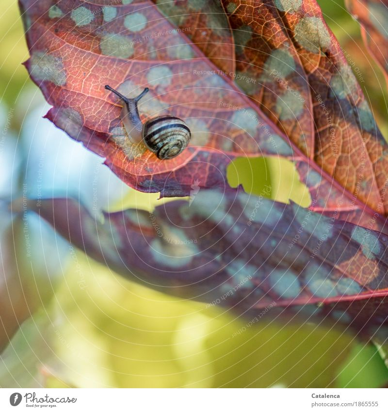 leaf top Nature Plant Animal Autumn Leaf Wild plant Virginia Creeper Garden Snail 1 Movement Faded Esthetic Glittering Slimy Brown Yellow Green Red Contentment