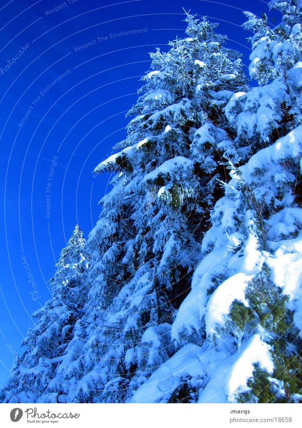 Sky Blue White Tree Winter Forest Cold Snow Ice Branch Twig Fir tree Cover Coniferous trees Spruce Edge of the forest