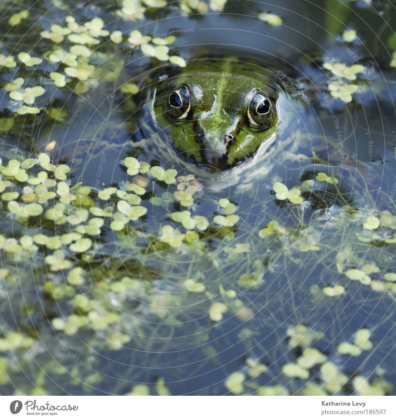 Pond King Mr. Glubsch Environment Nature Plant Animal Water Climate Algae Bog Marsh Lake Wild animal Frog 1 Blue Green Endurance Loneliness Discover