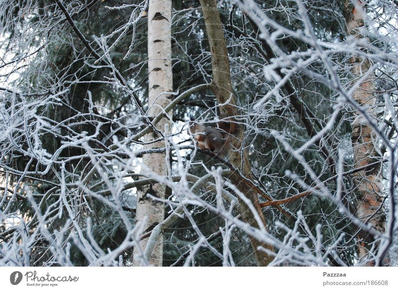 Animal search image Happy Life Hunting Freedom Safari Winter Nature Ice Frost Tree Bushes Pelt Red-haired Wild animal Discover Crouch Looking Squirrel