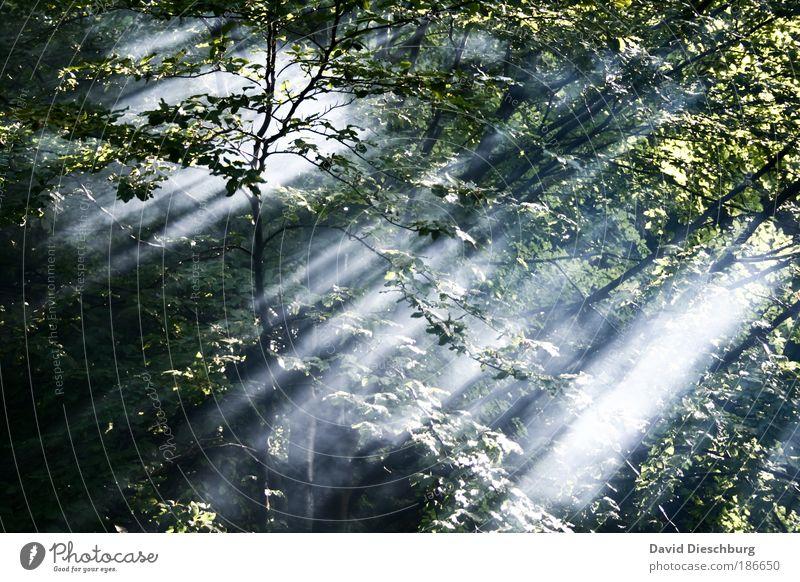 Nature Summer Tree Plant Leaf Forest Landscape Environment Air Morning Fog Branch Sunbeam Branchage Wilderness Foliage plant