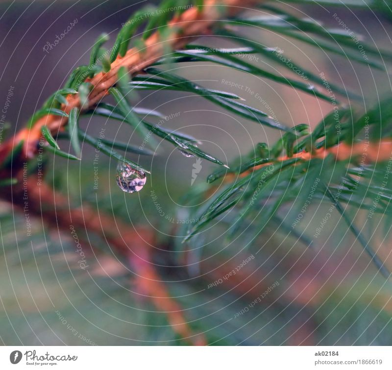 Raindrops on a spruce branch Environment Nature Landscape Plant Water Drops of water Autumn Bad weather Tree Spruce Forest Fluid Glittering Cold Thorny Brown