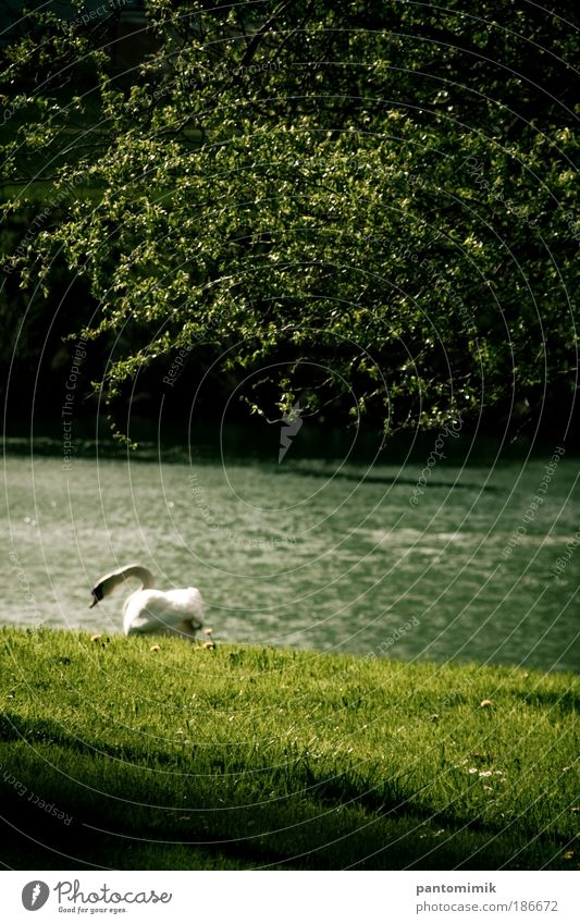 Lost Water Spring Grass River bank Animal Bird Swan 1 Moody Loneliness Colour photo Exterior shot Deserted Day Shadow Sunlight