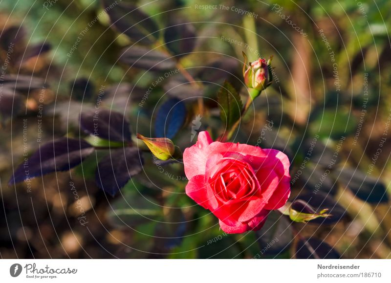 Nature Beautiful Plant Life Elegant Natural Esthetic Growth Lifestyle Uniqueness Romance Rose Clean Observe Warm-heartedness Blossoming