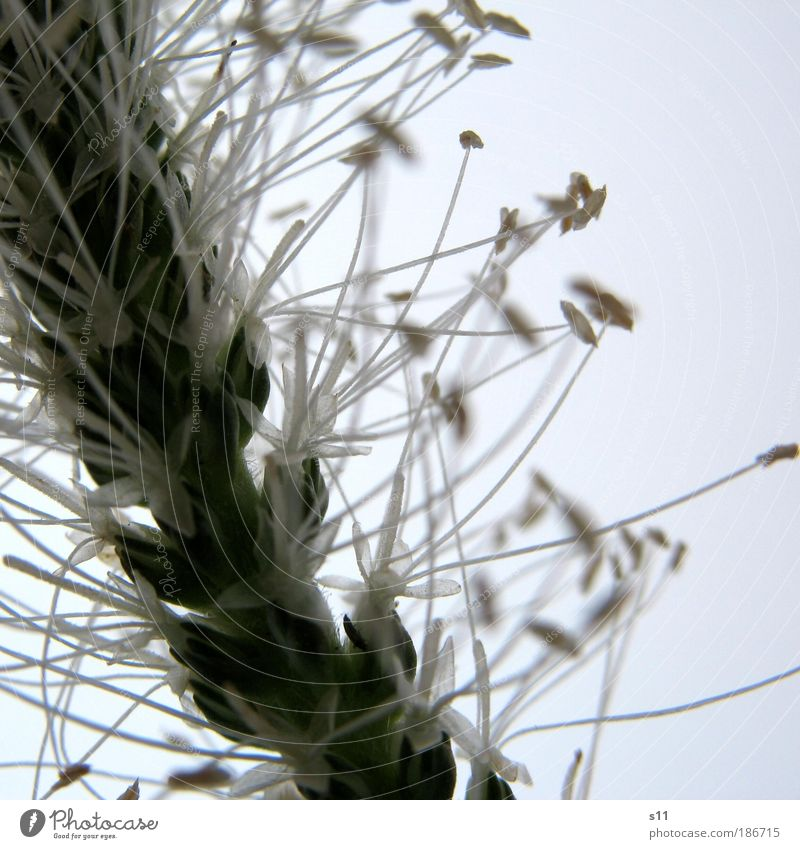 Nature White Flower Green Plant Summer Meadow Blossom Grass Park Elegant Environment Star (Symbol) Esthetic Thin Delicate