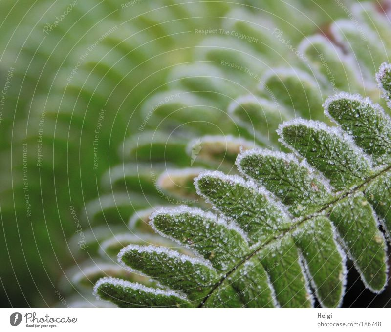 frostily breathed Nature Plant Winter Ice Frost Fern Foliage plant Freeze Esthetic Cold Natural Green White Bizarre Uniqueness Idyll Symmetry Environment