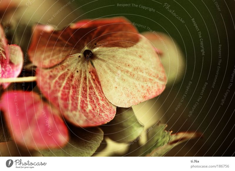 Nature Beautiful Flower Plant Summer Leaf Autumn Blossom Landscape Environment Climate Blossoming Hydrangea Hydrangea blossom