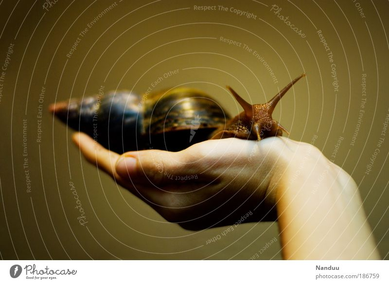 Nature Hand Human being Calm Animal Copy Space Protection 1 Touch To hold on Cute Snail Feeler Crawl Carrying Slowly