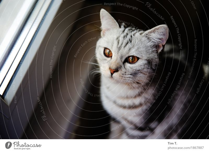 Cat at the window Animal Pet Animal face 1 Adventure Dream Gray Silver Amber Eyes Colour photo Interior shot Deserted Day