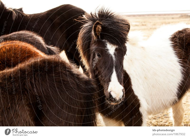 Portrait of an Icelandic pony in a herd in spring Ride Vacation & Travel Tourism Adventure Far-off places Horse Herd Iceland pony Iceland ponies brown mane