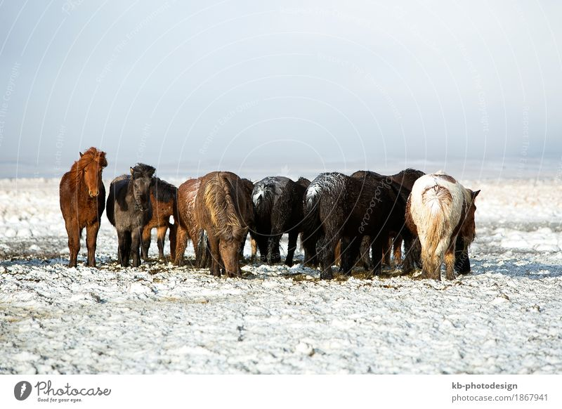 Herd of Icelandic horses after a snow storm Ride Vacation & Travel Tourism Adventure Far-off places Winter Horse Iceland pony Iceland ponies Icelander weather