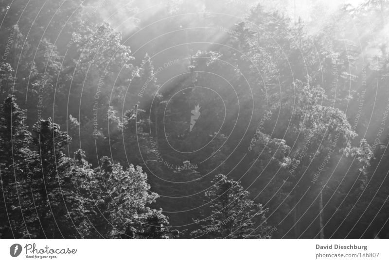In the morning half a dozen in Germany Environment Nature Plant Fog Tree Forest Coniferous forest Treetop Black & white photo Day Light Shadow Contrast