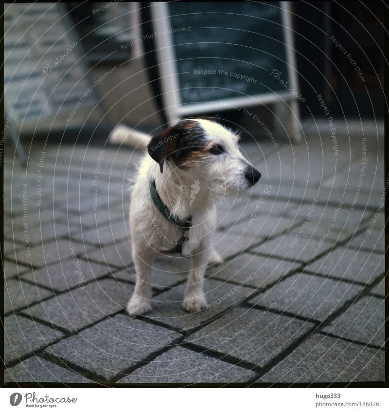 Jack Russell Terrier ...or half-breed? :-) Paving stone Pedestrian precinct Animal Pet Dog Jack Russell terrier 1 Good Small Thin Smart Black White Colour photo