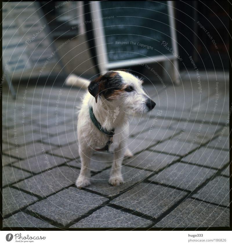 White Terrier Black Animal Dog Wait Small Animal face Good Thin Observe Cute Sidewalk Pet Smart Paving stone
