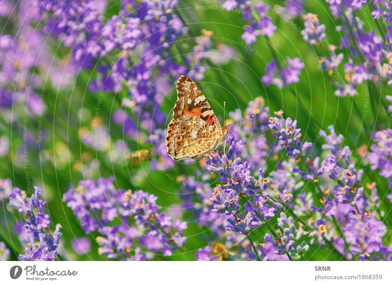 Peacock Butterfly on Lavender Nature Stone Environment Insect lepidoptera Peacock butterfly aglais io colourful butterfly european peacock Animal Wing anthesis