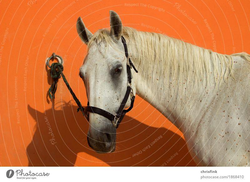 Lipizzan tethered to orange wall Hair and hairstyles Ride Animal Horse 1 Knot Feeding Esthetic Orange White Gray (horse) Lipizzaner more lippizant mare
