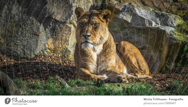 Lying female lion in the sun Zoo Nature Animal Sun Sunlight Plant Grass Wild animal Animal face Pelt Paw Lion 1 Stone Observe Relaxation Lie Esthetic Elegant