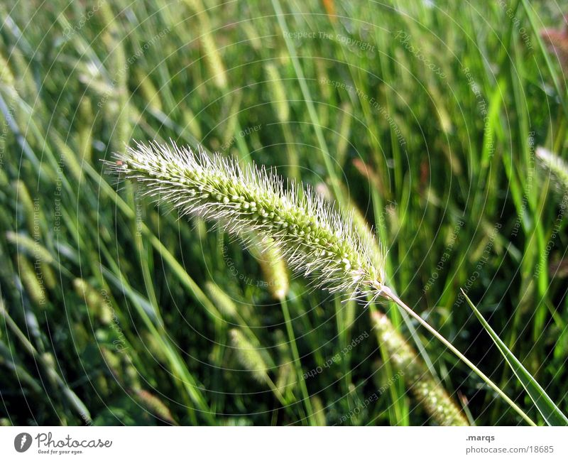 loner Grass Meadow Field Summer Green Ear of corn Blossoming Harvest Warmth marqs