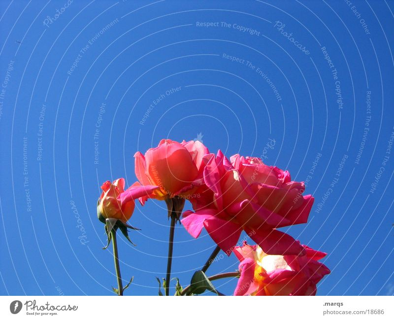Sky Blue Red Pink Rose Blossoming