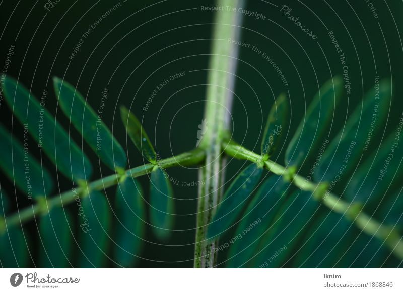 Macro image of branching green leaves Nature Plant Leaf Foliage plant Green Natural Background picture Symmetry Branch Twig Dark Macro (Extreme close-up)