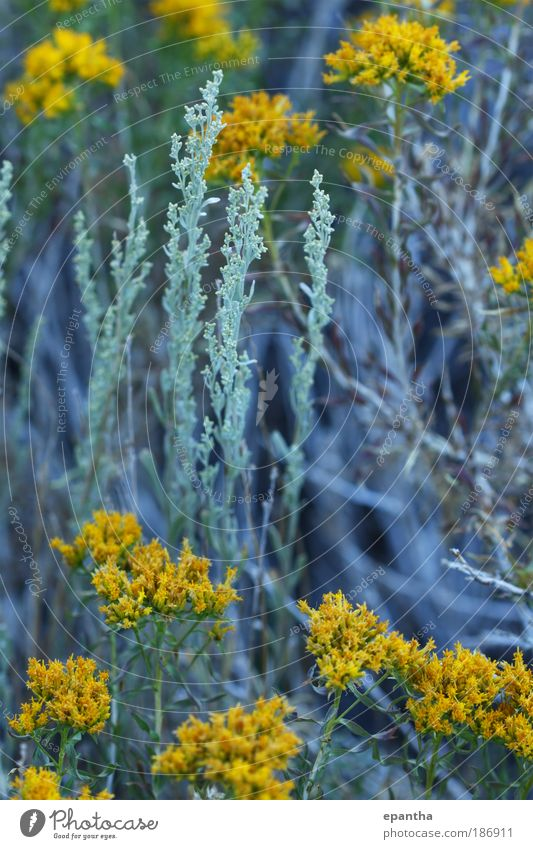 Sage and Goldenrod Mountain Nature Plant Summer Flower Bushes Leaf Wild plant Meadow Desert California Authentic Elegant Beautiful Natural Gray Green