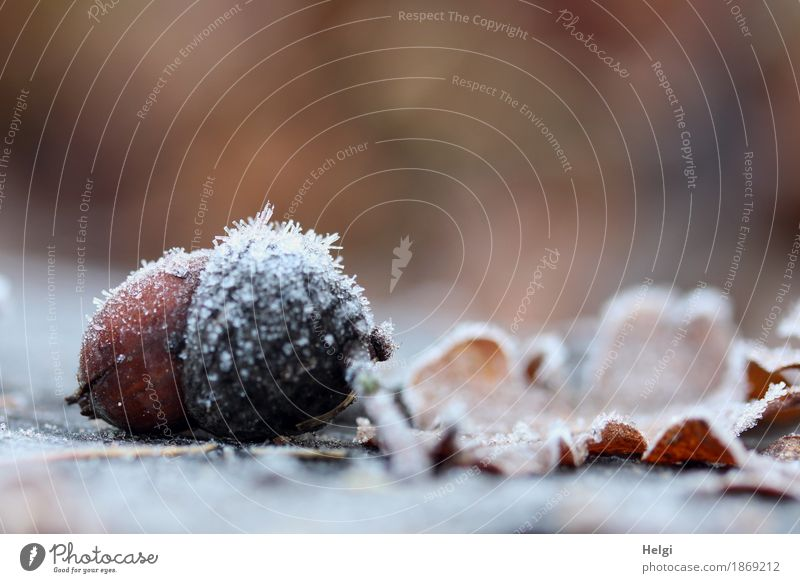 icily decorated Environment Nature Plant Autumn Beautiful weather Ice Frost Leaf Acorn Park Freeze Lie To dry up Authentic Exceptional Cold Small Natural Brown