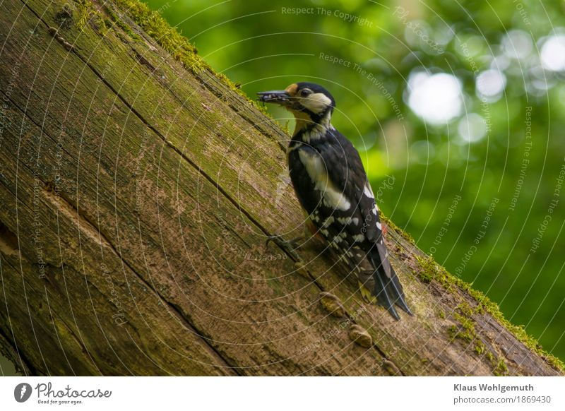 The little ones are waiting for me. Environment Nature Animal Spring Tree Garden Park Forest Wild animal Bird Worm Animal face Spotted woodpecker 1 To feed