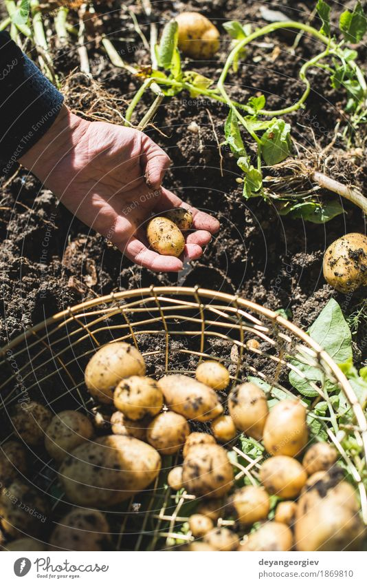Woman harvest potatoes from the garden Vegetable Summer Garden Gardening Hand Culture Nature Plant Earth Dirty Fresh Natural Potatoes food Crops Harvest Farm