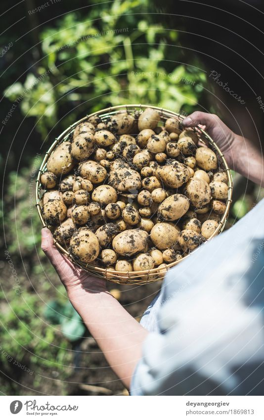 Woman harvest potatoes from the garden Nature Plant Summer Hand Natural Garden Earth Dirty Fresh Culture Seasons Vegetable Farm Harvest Rural Farmer