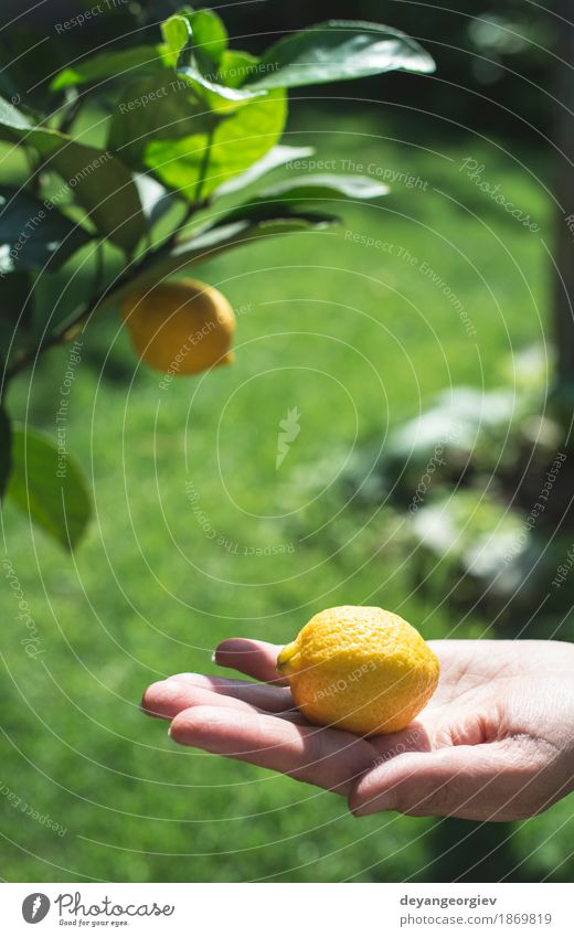 Young lemon tree and fruit. Human being Woman Nature Summer Green White Tree Hand Girl Adults Yellow Natural Happy Garden Fruit Fresh