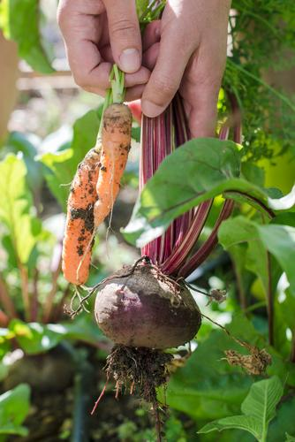 Woman harvest carrots and beetroot Nature Green Red Leaf Adults Wood Garden Fresh Vegetable Farm Harvest Vegetarian diet Diet Vitamin Rural