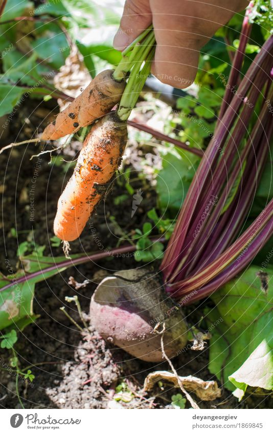 Woman harvest carrots and beetroot Vegetable Vegetarian diet Diet Garden Gardening Adults Nature Leaf Wood Fresh Green Red Carrot Organic Harvest healthy Root