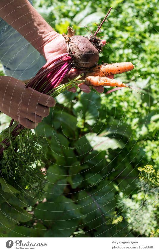 Woman harvest carrots and beetroot Nature Green Red Leaf Adults Wood Garden Fresh Vegetable Farm Harvest Vegetarian diet Diet Vitamin Rural