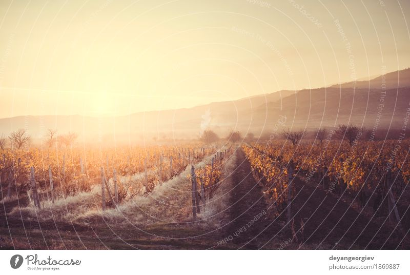 Vineyards on sunrise. Autumn vineyards in the morning Vacation & Travel Tourism Sun Nature Landscape Sky Growth Yellow Green Red wine Sunset Winery agriculture